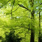 beech-forest-web-ready